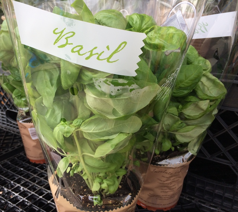Harvest Basil Plants Properly for Longer Life